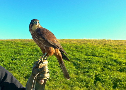 Falconry in Renwick New Zealand ~ The spiritual writings of God Dieux